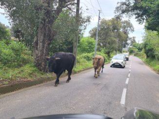 Divagation animale sur la route de l'hôpital de Bastia